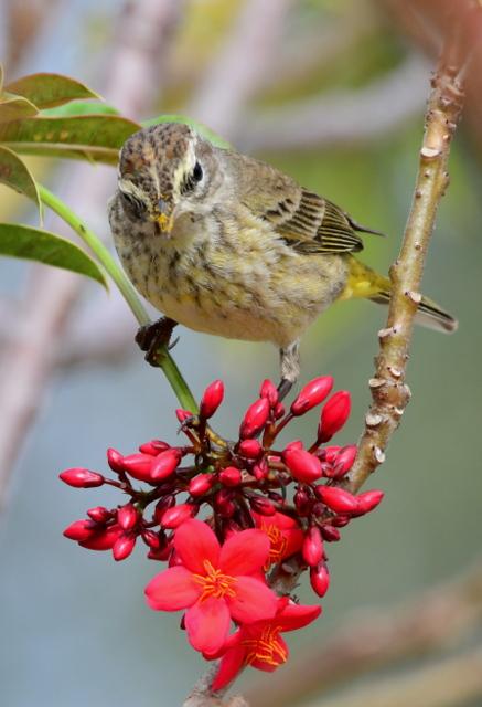 Palm Warbler_CapeCoral-FL_LAH_5534