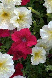Petunia_HudsonGardens-CO_LAH_6337