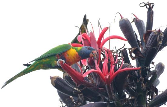 Rainbow Lorikeet on Doryanthes excelsa_Gymea Lily_RoyalBotanicGardens-Sydney-NSW-Australia_LAH_7268