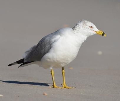 Ring-billed Gull_NewSmyrnaBeach-FL_LAH_1777