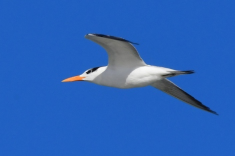 Royal Tern_NewSmyrnaBeach-FL_LAH_2501