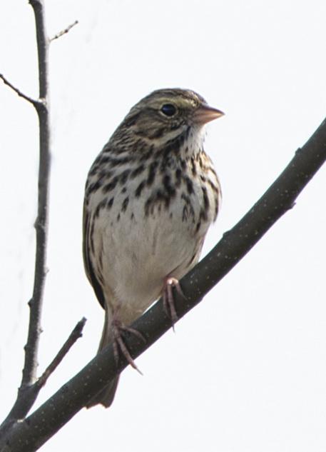 Savannah Sparrow_SavannahNWR-SC_LAH_1545r
