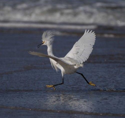 Snowy Egret_NewSmyrnaBeach-FL_LAH_2203r