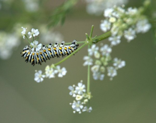 Swallowtail caterpillar on Poison Hemlock_BCNC_LAH_2042