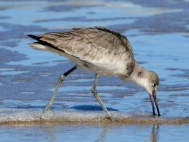 Willet_NewSmyrnaBeach-FL_LAH_2014