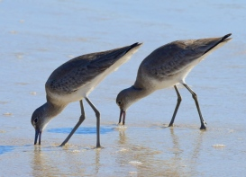 Willet_NewSmyrnaBeach-FL_LAH_2088