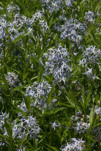 Amsonia tabernaemontana_Texas Star_DBG-CO_LAH_6439