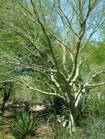 Cercidium sp. - Palo Verde Tree @PBG 2004apr18 LAH 002
