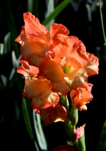 Gladiolus_DBG-CO_LAH_8837
