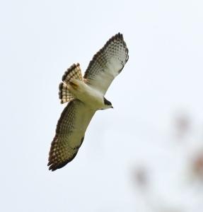 Short-tailed Hawk_CorkscrewSwamp-FL_LAH_6751