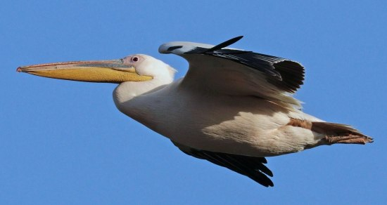 1920px-Great_white_pelican_(Pelecanus_onocrotalus)_in_flight_Ethiopia-001