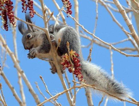 Abert's Squirrel_MancosSP-CO_LAH_2494.nef