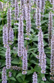 Agastache x 'Blue Fortune' - Anise Hyssop