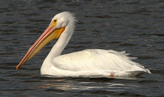 American White Pelican_MerrittIslandNWR-FL_LAH_4162