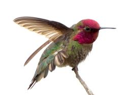 Anna's Hummingbird_MorroBay-CA_LAH_0394