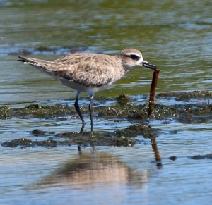 Black-bellied Plover_DingDarlingNWR-FL_LAH_5302