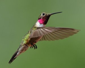 Broad-tailed Hummingbird_RedRocksRanch-Hwy115-CO_LAH_3795