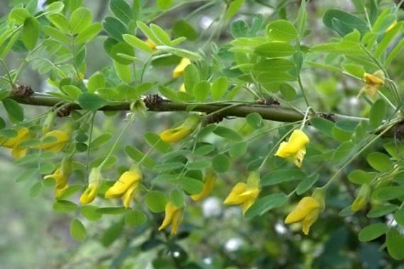 Caragana arborescens_Siberian Peashrub_HudsonGardens-CO_LAH_5901f