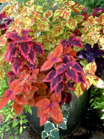 Coleus in containers @DBG 19sept05 LAH 324