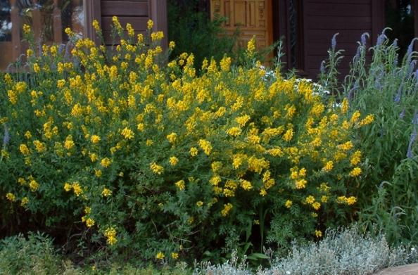 Cytisus pergans 'Spanish Gold'