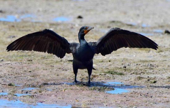 Double-crested Cormorant_DingDarlingNWR-FL_LAH_5330