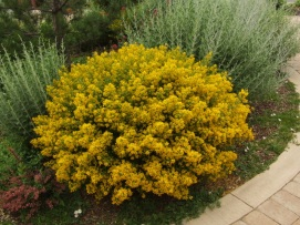 Genista lydia - Hardy Dwarf Broom @SantaFeGreenhouses 2008jun28 LAH 118