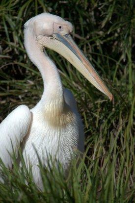 Great White Pelican_SDWildAnimalPark_LAH_0519