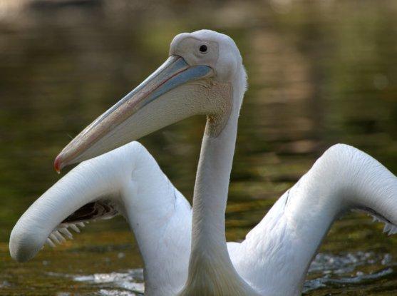 Great White Pelican_SDWildAnimalPark_LAH_0565