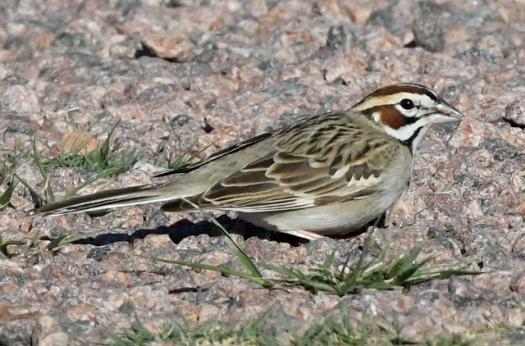 Lark Sparrow_AikenCyn-EPCo-CO_LAH_2645
