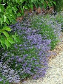 Lavandula_angustifolia'_XG_090720_LAH_7151