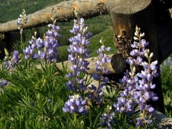Lupinus argenteus parviflorus - Lodgepole Lupine @CrestedButteCO_2008jul12_LAH_020