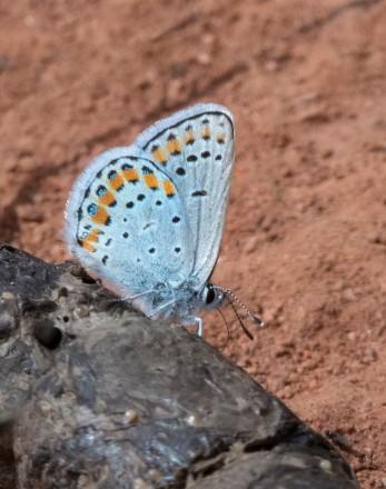 Melissa Blue Butterfly_AikenCyn-CO_LAH_3272rr