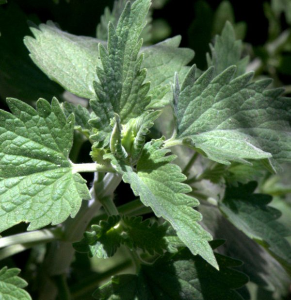 Nepeta cataria_Catnip_BlkForest-CO_LAH_7690