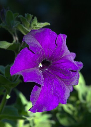 Petunia_DBG-CO_LAH_9038