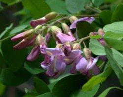 Robinia neomexicana_New Mexico Locust_BCNC_LAH_1869