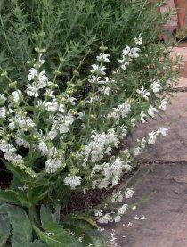 Salvia argentea_Silver Sage_CarnegieLib-CoSpgsCO_LAH_9987
