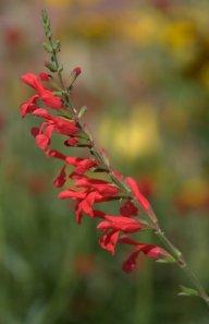 Salvia darcyi 'Pscarl'_Vermilion Bluffs Mexican Sage_DBG_LAH_7154