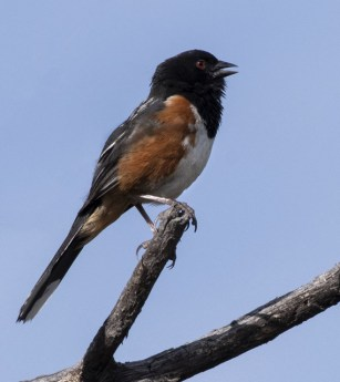 Spotted Towhee_AikenCyn-EPCo-CO_LAH_2672r