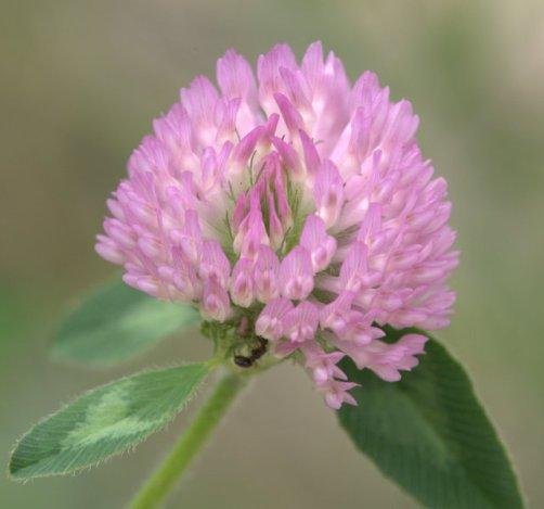 Trifolium_Clover_BlkForest_20090625_LAH_4458