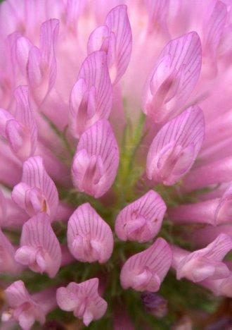 Trifolium_Clover_BlkForest_20090625_LAH_4460