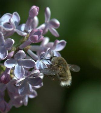 Bee on Syringa vulgaris_Lilac_BlkForest-CO_LAH_5789