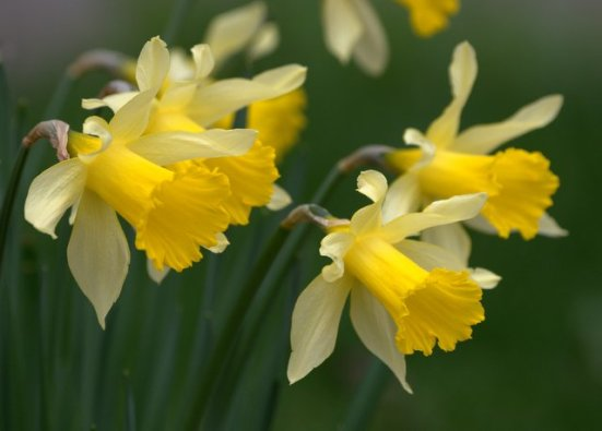 Narcissus_Daffodils_Seattle-WA_LAH_9750.nef