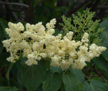 Syringa reticulata_Japanese Tree Lilac_DBG_LAH_0784