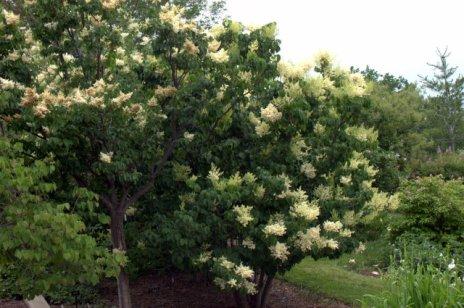 Syringa reticulata_Japanese Tree Lilac_DBG_LAH_1245