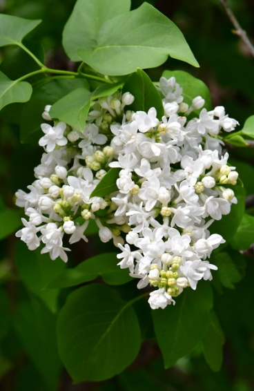 Syringa vulgaris 'General Sheridan'_Lilac_DBG-CO_LAH_8705