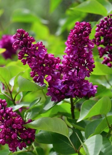 Syringa vulgaris_Lilac 'Mrs. Edward Harding'_DBG-CO_LAH_8702