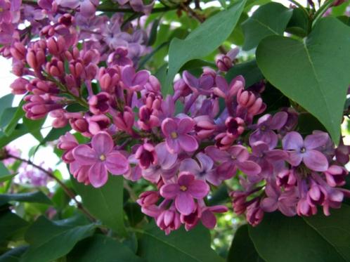 Syringa vulgaris_Lilac_BoulderLIG_LAH_213