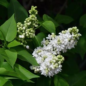 Syringa vulgaris_Lilac_DBG-CO_LAH_8711