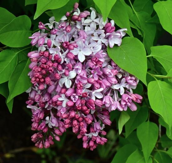 Syringa vulgaris_Lilac_DBG-CO_LAH_8718