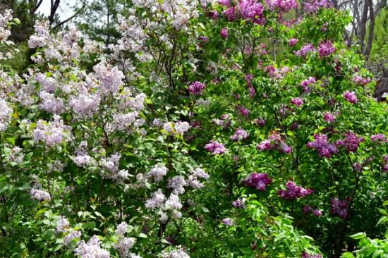 Syringa vulgaris_Lilac_DBG-CO_LAH_8724